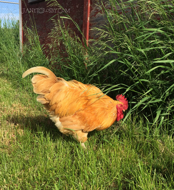 Foster the rooster who was dumped along our road