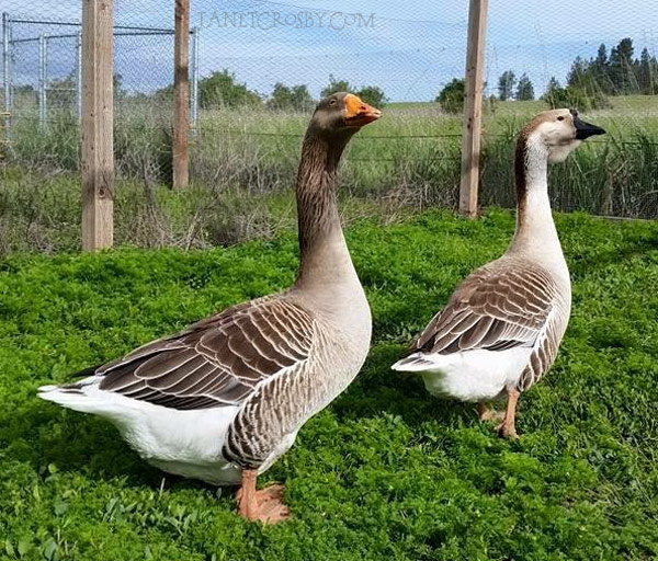 The geese - loud and proud