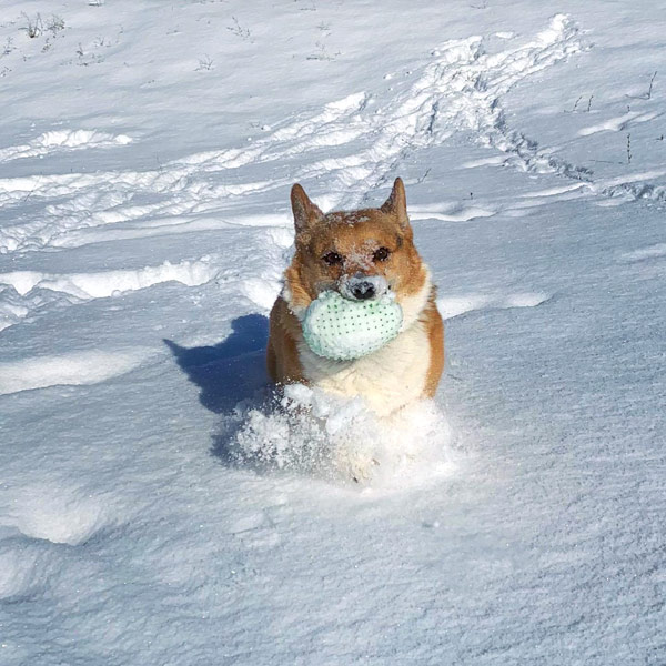 Avie the corgi playing fetch in the snow.